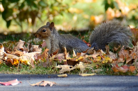 squirrel in the leaves